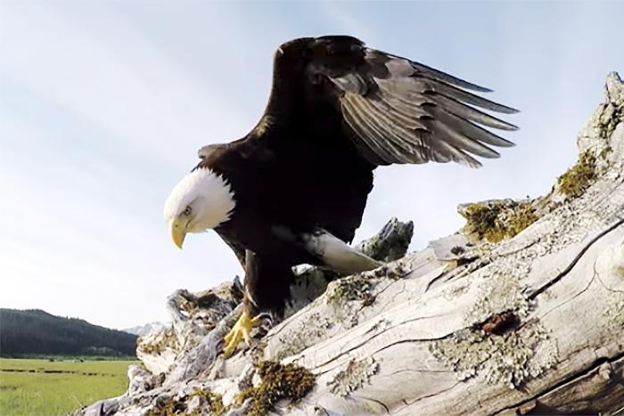 もしも「鷹」にさらわれたら、どんな景色が見えるのか?衝撃映像の撮影に成功!
