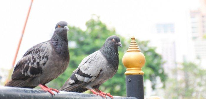 pigeoneye