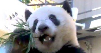 190217.panda_eye
