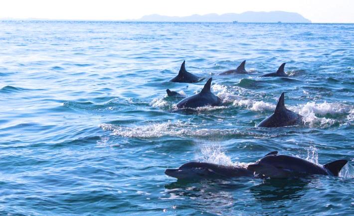 99%イルカに会える。熊本県天草市のイルカウォッチング