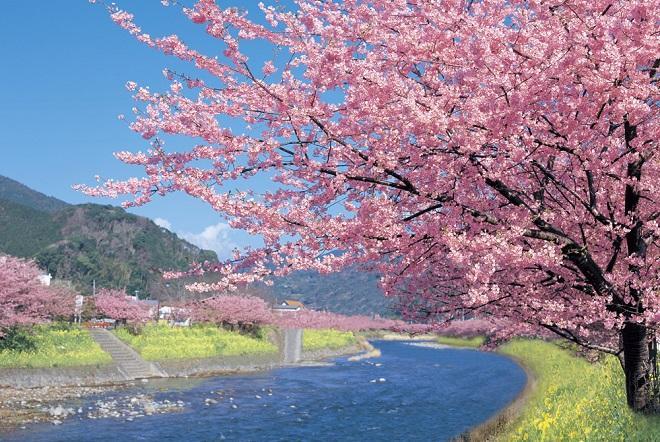 河津桜:静岡県観光協会