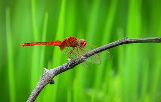 なぜアカトンボは赤くなるか?その謎に隠された老化防止のヒント