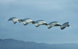 まるで数学的な美しさ。鳥の羽ばたく「軌跡」を捉えた連続写真