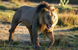 【英語ジョーク】ライオンが出現。男性がNIKEを履いた理由は?