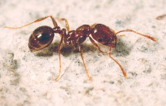 ヒアリは本当に害なのか? 加熱する外来種排斥に生物学者が反論