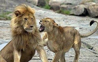 雌ライオンに怒られた雄ライオンの表情が本気と書いてマジでツボ