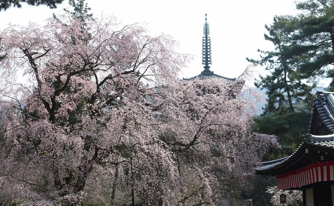 京都に巡る桜の季節。春を感じに、秀吉ゆかりの醍醐寺と三宝院へ
