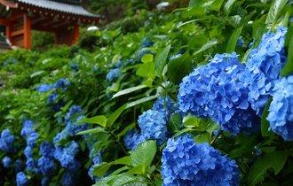 雨の京都を彩る群青。宇治は三室戸寺に、1万株の紫陽花を訪ねる