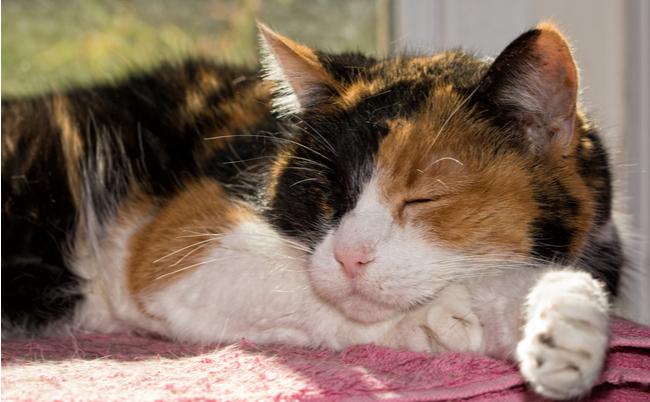 第2問:「三毛猫」の特徴で正しいのはどれか?