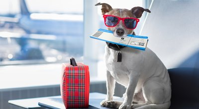 Holiday,Vacation,Jack,Russell,Dog,Waiting,In,Airport,Terminal,Ready
